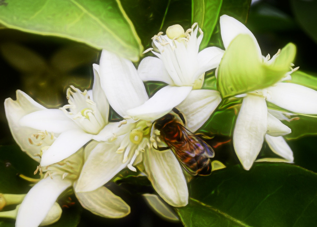 Busy Bee In The Orange Blossoms by joysfocus