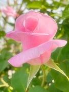 5th Apr 2021 - Rose