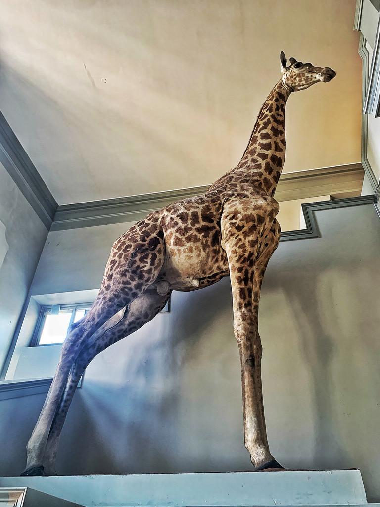 Giraffe.  by cocobella