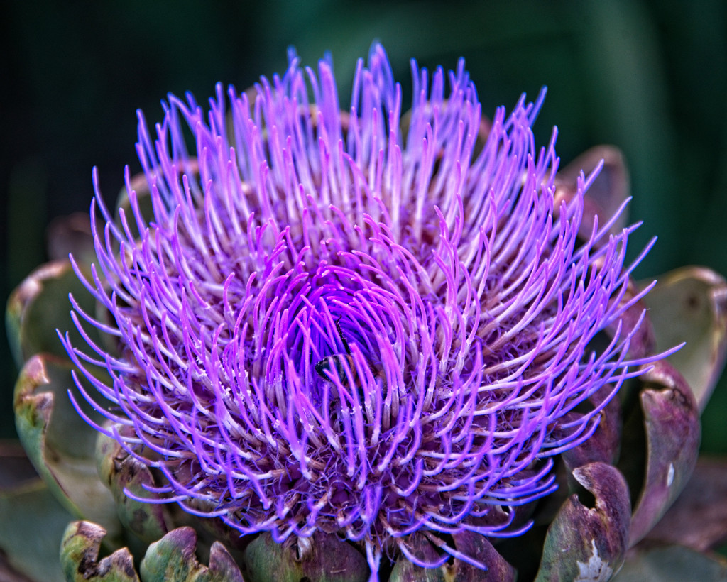 Artichoke Flower by fr1da