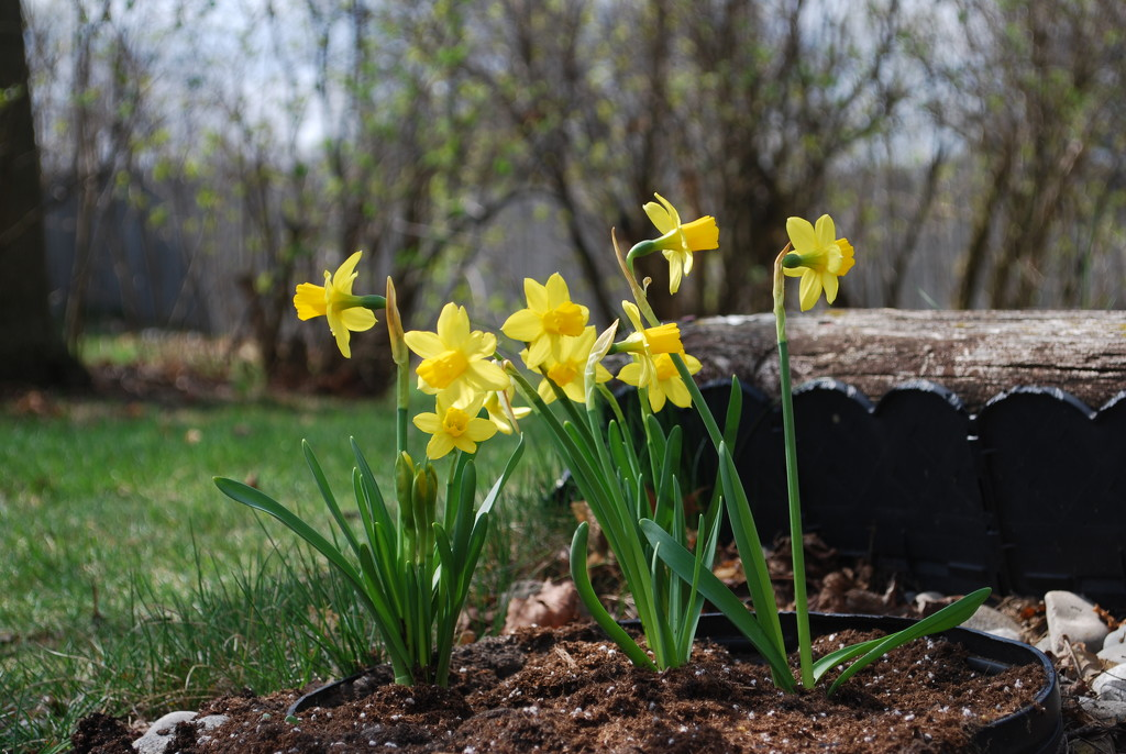 daffodils by stillmoments33