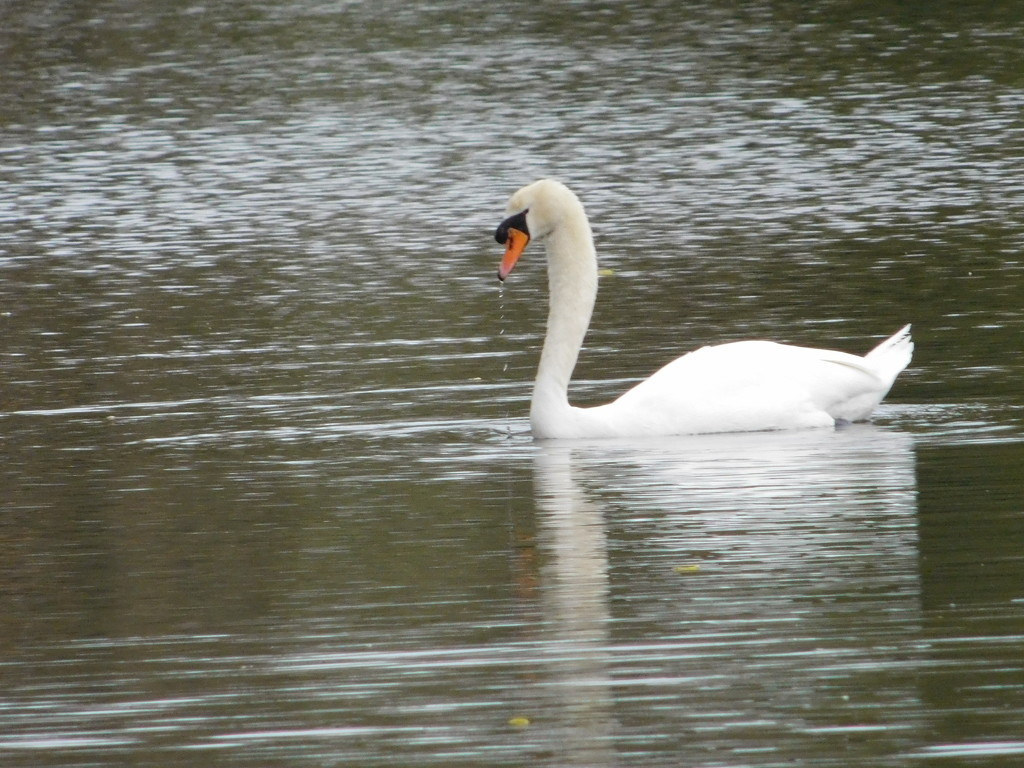 And the swans are back by 365anne