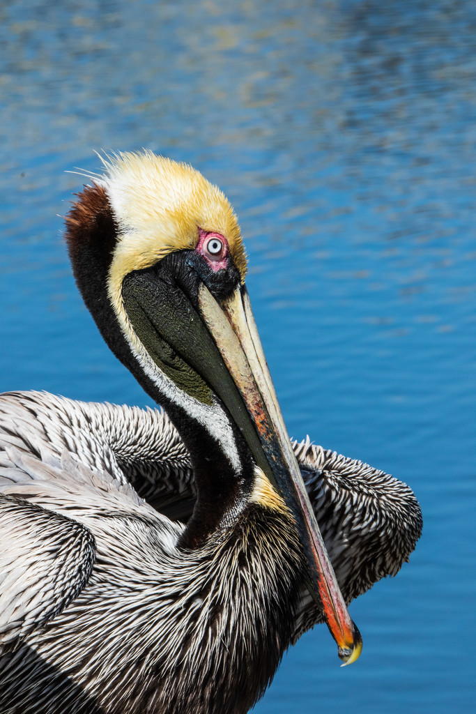 Close Up of the Pelican by photograndma