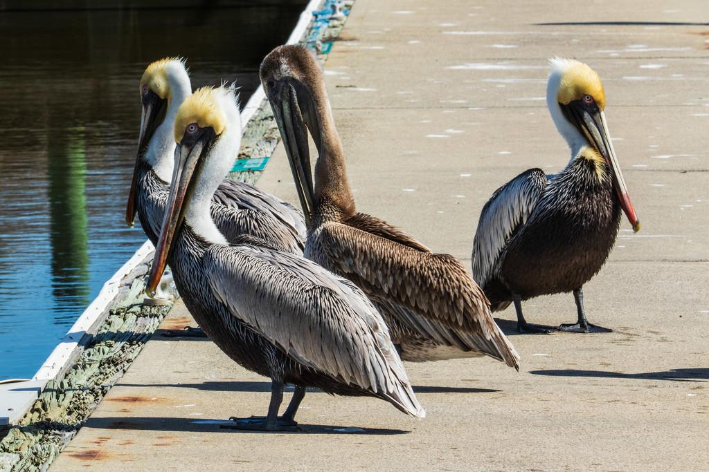 Pelican Party by photograndma