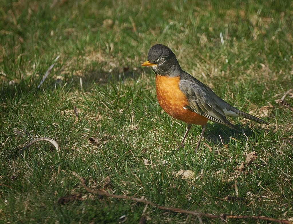 North American Robin by gardencat