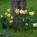 AN Assortment of Daffodils