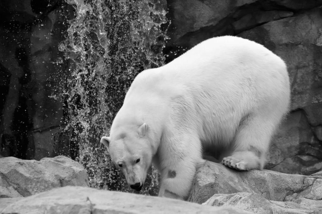 Black And White Polar Bear by randy23