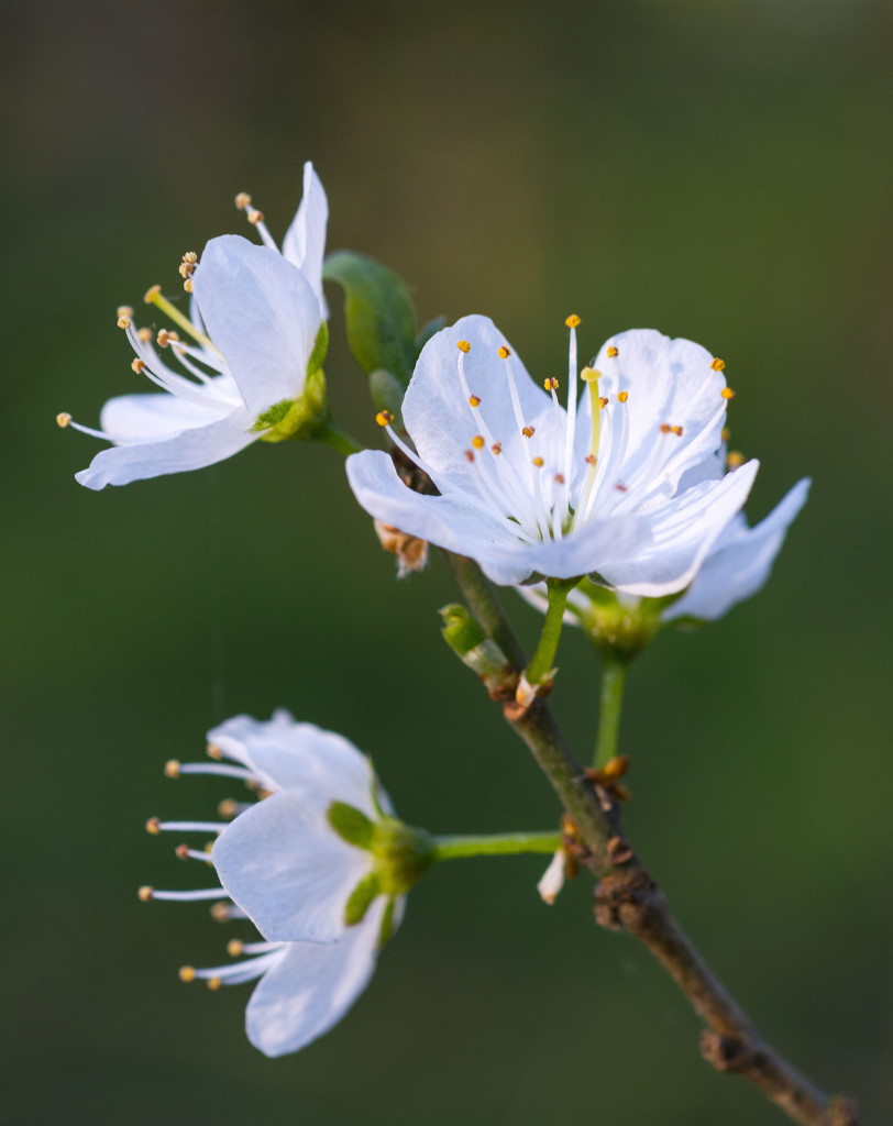 Cherry blossom by rumpelstiltskin