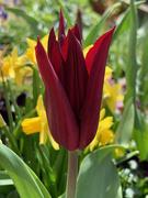 8th Apr 2021 - Tulip