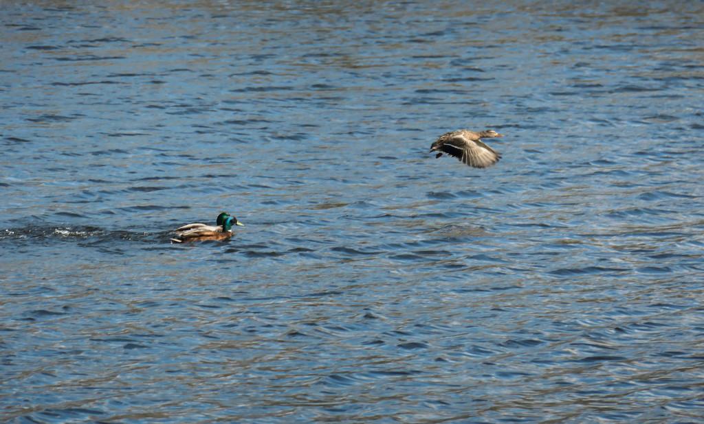 Ducks by stiggle