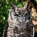 Spotted Eagle Owl by ninaganci