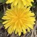 Dandelion  by mjmaven