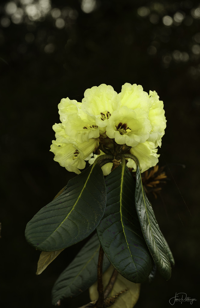 Himalayan Rhododendron Open by jgpittenger