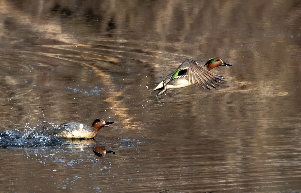 Green-winged Teal by dridsdale