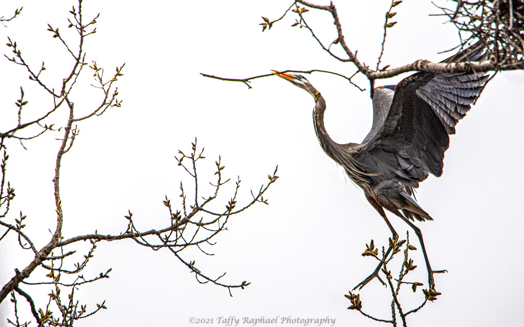 Blue Heron with Twig  by taffy