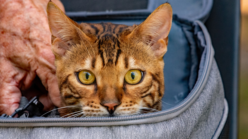 Cat in the Backpack! by rickster549