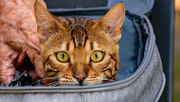 8th Apr 2021 - Cat in the Backpack!