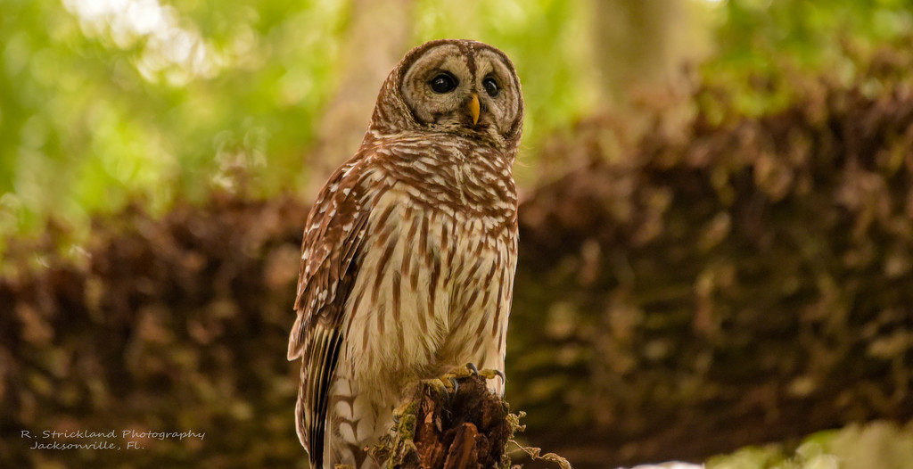 Another Barred Owl! by rickster549