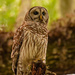 Another Barred Owl!