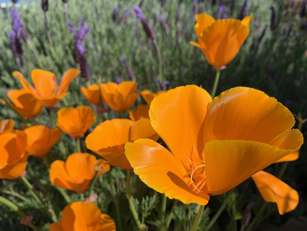 California poppy by shookchung