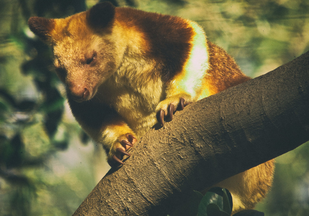Goodfellow's Tree Kangaroo by annied