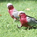 Mr Galah Strutting His Stuff