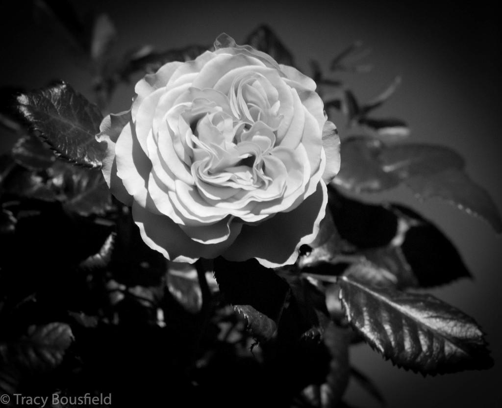 Rose by tracybeautychick