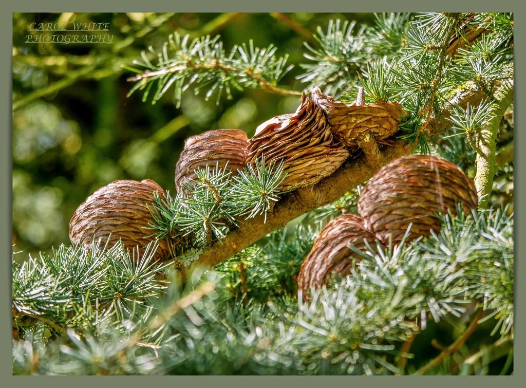 Pine Cones by carolmw