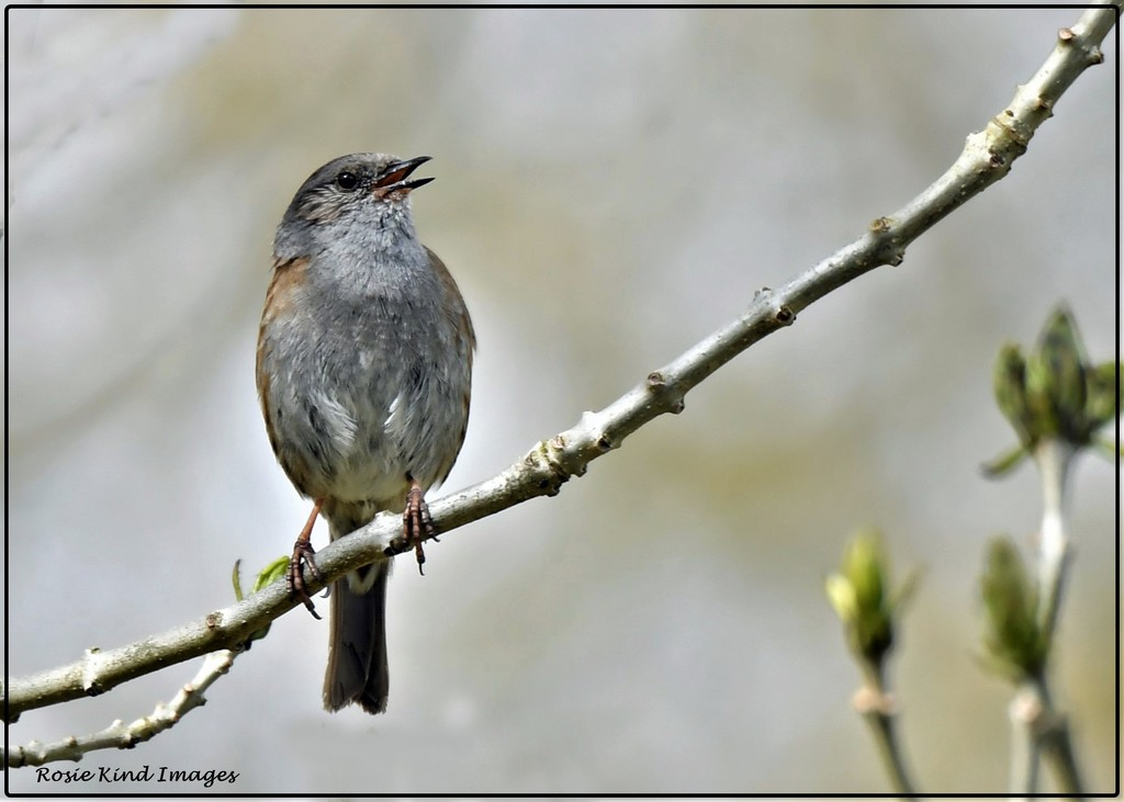Singing dunnock by rosiekind
