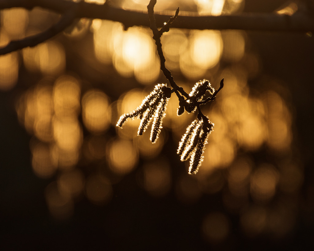 backlit catkins by aecasey