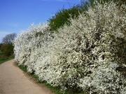 9th Apr 2021 - Blossom