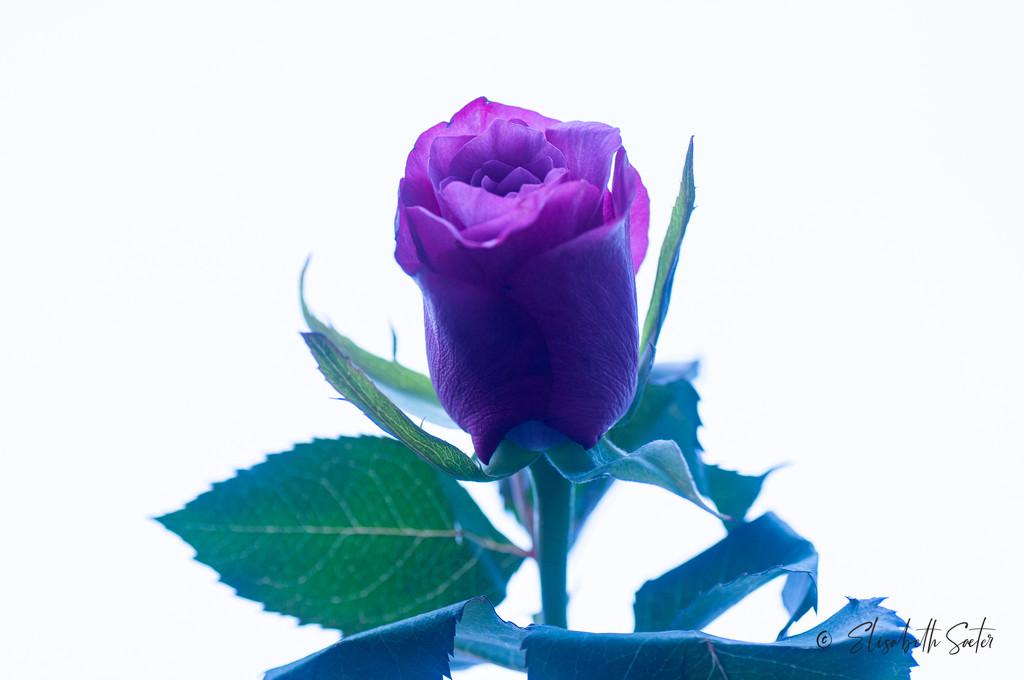 Purple rose by elisasaeter