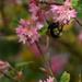 bumblebee butt