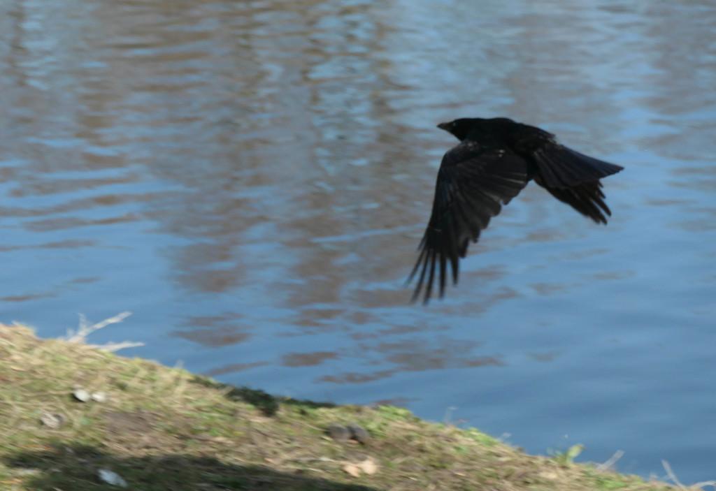Crow by stiggle