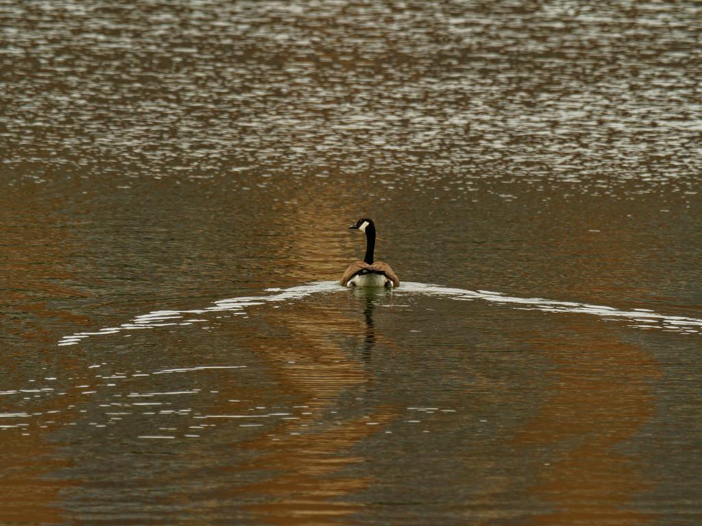 Canada goose  by rminer