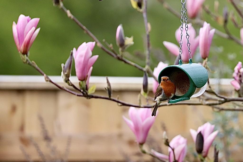 Robin at the Feeder by carole_sandford
