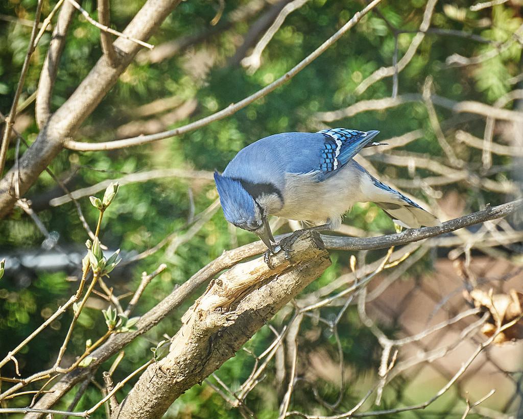 Bluejay Breakfast by gardencat