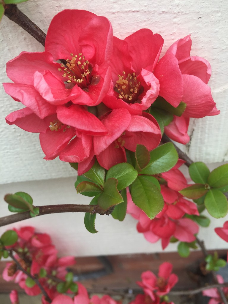 Japonica by snowy