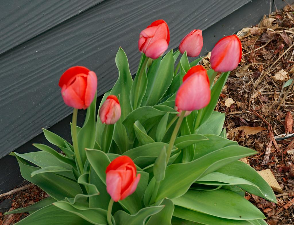 Tulips  by larrysphotos