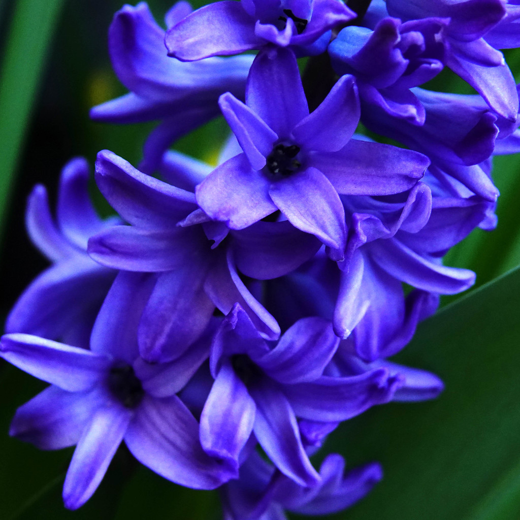 The Sweet Smell of a Hyacinth by milaniet