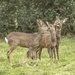 Roe Deer Love In