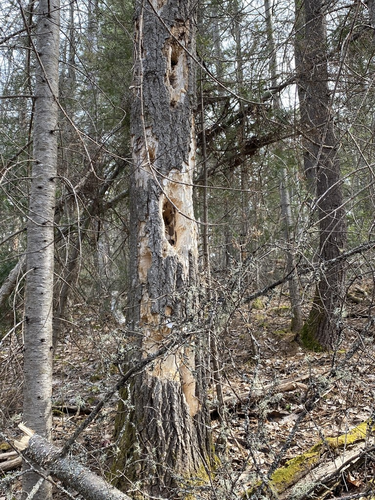 Woodpeckers are making this tree their Own by radiogirl