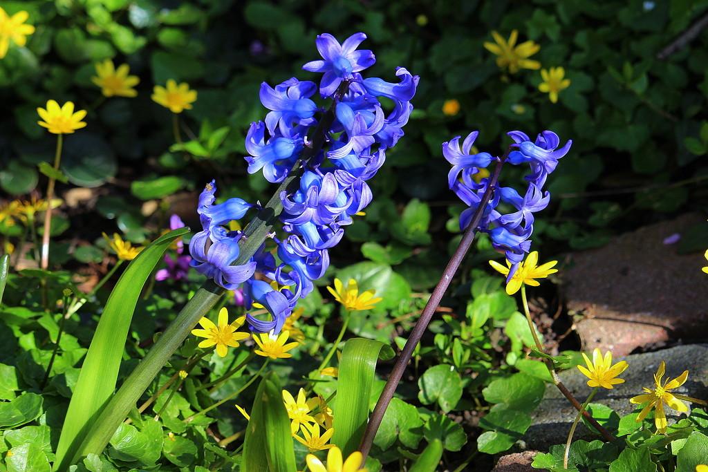 Hyacints (2) by pyrrhula