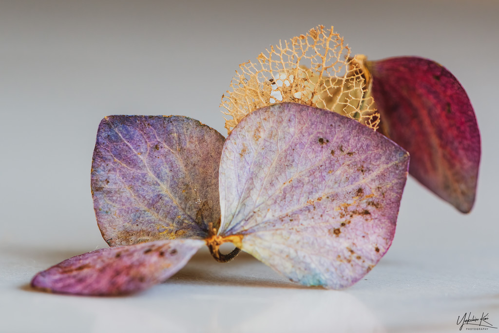 dried hydrangea petal by yorkshirekiwi