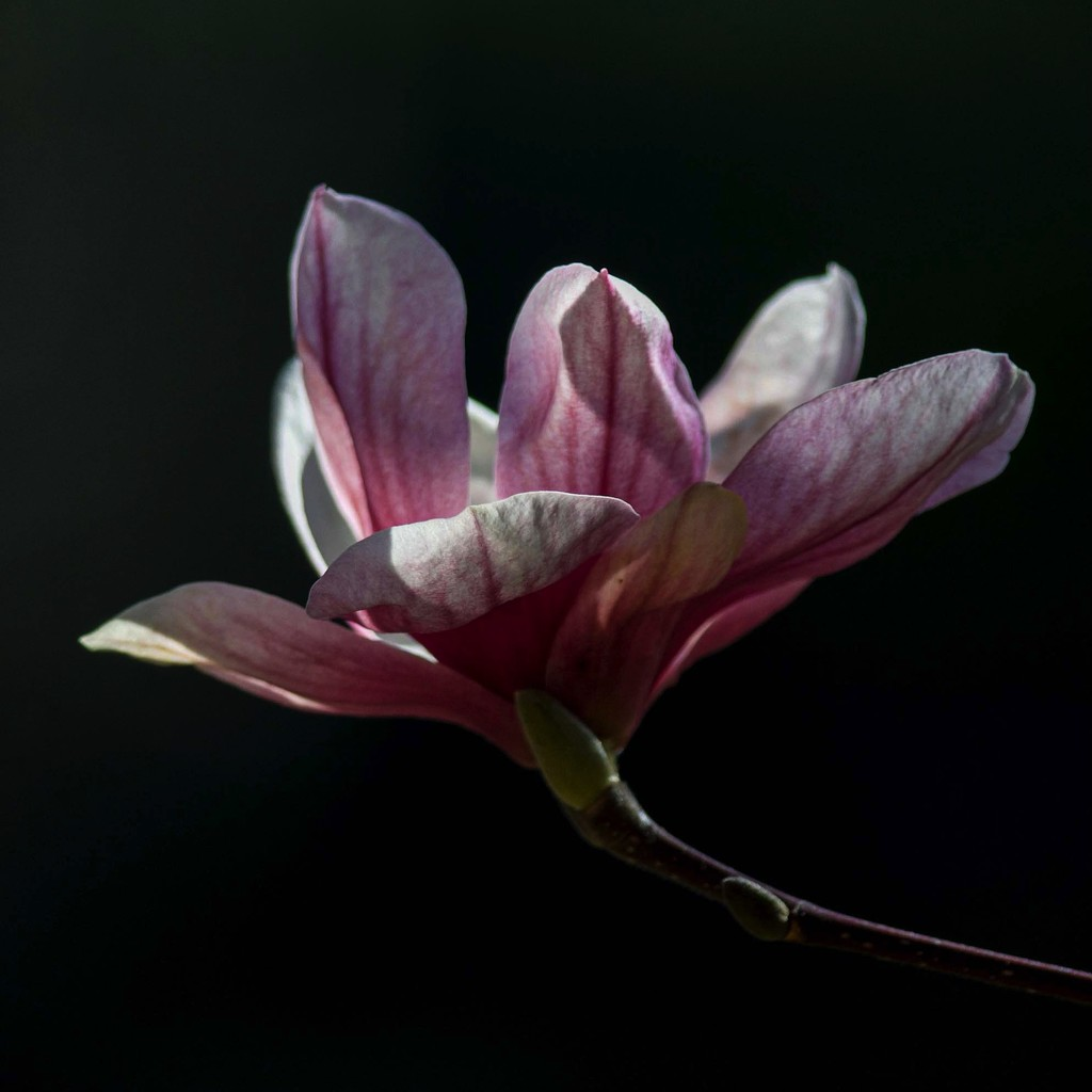 The old magnolia next door by berelaxed