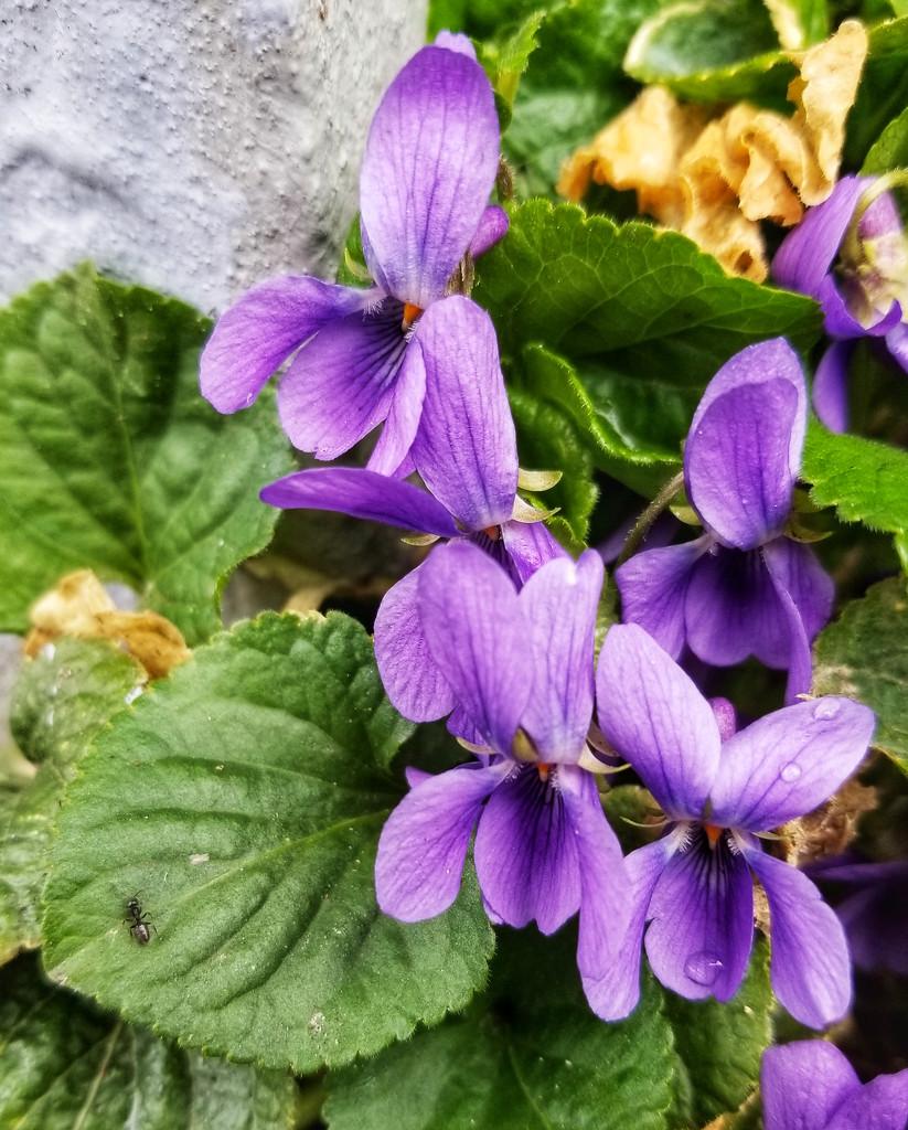 Viola odorata by ljmanning