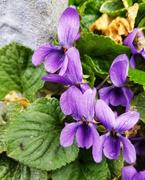 9th Apr 2021 - Viola odorata