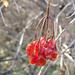 Last year's berries