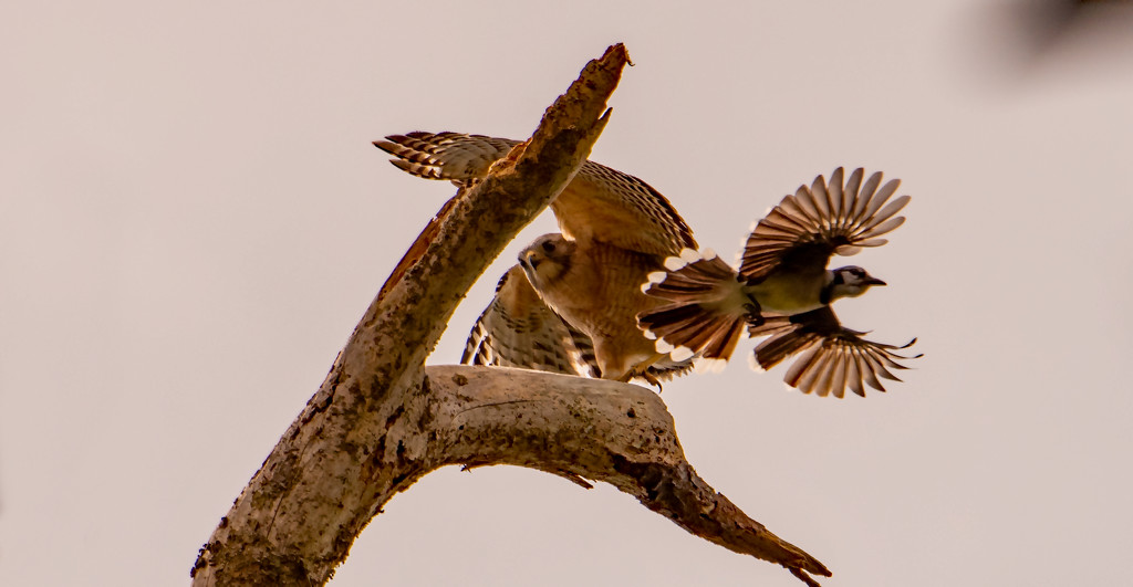 Blue Jay Attacking the Hawk! by rickster549