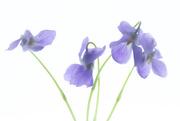 9th Apr 2021 - watercolor violets